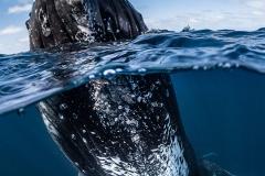 Humpback whales, Tonga